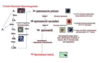 Spermatogen2