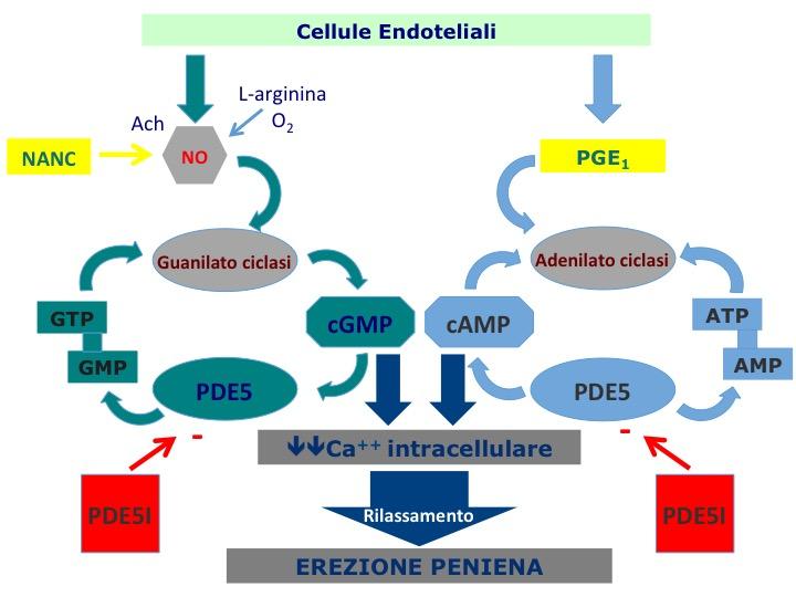 Neurofisiologia dell'erezione - Le Scienze