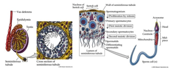 spermatogen1